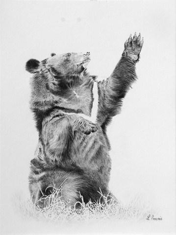 Dessins animaux sauvages laurence saunois artiste animalier - Dessin d un ours ...